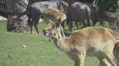 Herbivorous Animals in Zoo, Slow Motion Stock Footage