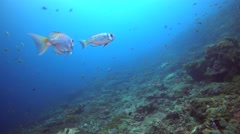 Crescent-tail bigeye (Priacanthus hamrur) hovering on top of coral reef Stock Footage