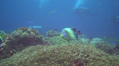 Semicircle angelfish (Pomacanthus semicirculatus) with divers in the backgound - stock footage