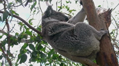 Australia Koala clinging to branch - stock footage