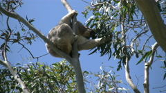 Australia Koala in gum tree eats leaves Stock Footage