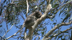 Australia Koala in gum tree zooms out Stock Footage