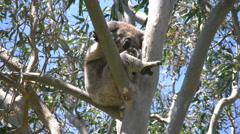 Australia Koala moves arms and legs in gum tree Stock Footage