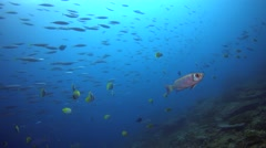 Crescent-tail bigeye (Priacanthus hamrur) with school of fusilier passing behind Stock Footage