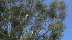 Australia Koala sleeping in gum tree zooms in - stock footage
