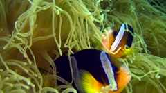 Clark anemone fish (Amphiprion clarkii) in its sea anemone Stock Footage