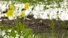 Spring. Yellow Primrose Flowers Under the Snow in the Forest on the Banks of Stock Footage
