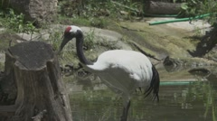 Red Crowned Crane, Slow Motion Stock Footage