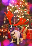 Portrait cute dog wearing reindeer antlers in front of Christmas tree Stock Photos