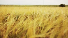 cereal field with spikelets of ripe rye or wheat - stock footage