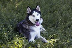 dog breed Siberian Husky - stock photo