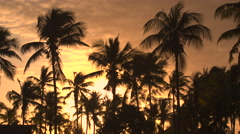 CLOSE UP: Stunning coconut palm trees moving in summer breeze at golden sunset - stock footage