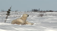 Polar Bear cubs with mother at Denning area Stock Footage