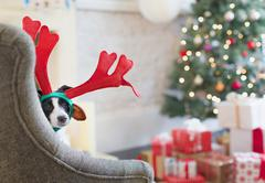 Portrait dog wearing reindeer antlers near Christmas tree Stock Photos