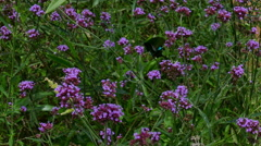 Black butterfly and blooming verbena flower field in garden Stock Footage