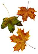 Detailed Fall Maple Leaf Stock Photos