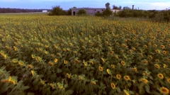 Aerial view of a beautiful field of sunflower with an abandoned warehouse Stock Footage