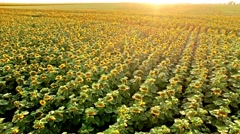 Aerial view of a beautiful field of bloomed sunflower in the afternoon sun Stock Footage