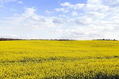 Collection rapeseed crop Stock Photos