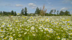 White petals on the tall stem of daisy Stock Footage