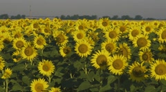 Tracking shot of beautiful sunflower field in yellow sutset lights Stock Footage