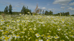 The steady plants of daisy in the field Stock Footage
