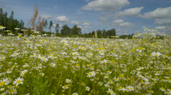 The 360 view of the daisy field Stock Footage