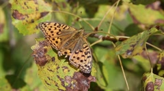 Shabby butterfly Marsh fritillary (Euphydryas aurinia)  is on a  wither leaf Stock Footage