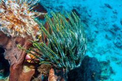 Colorful Sea Lilies on Coral Tropical Reef Stock Photos