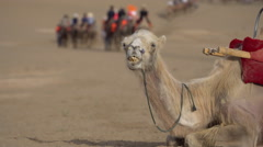 camel resting on desert, tourists riding camels walking on desert - stock footage
