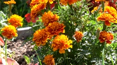 Marigold flowers in garden Stock Footage