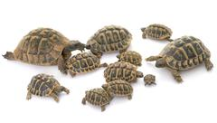 Hermanns Tortoise and baby turtles Stock Photos