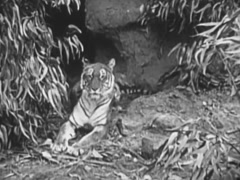 Tiger in jungle looking alert, 1940s Stock Footage