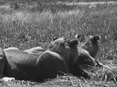 Two lionesses lying on grass simultaneously turning their head, 1940s Stock Footage
