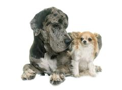 Great Dane and chihuahua Stock Photos