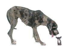 Great Dane and puppy chihuahua in studio Stock Photos