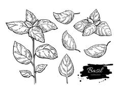 Basil vector drawing set. Isolated plant with leaves. Stock Illustration