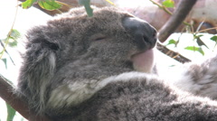 Australia Koalas face in tree - stock footage