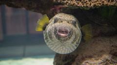 Cute Pufferfish 4K. Stock Footage