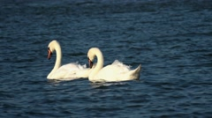 Swans on blue river water in sunny day Stock Footage