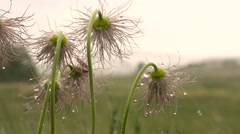 Spring Flowers in the Icy Drops. Swaying in the Wind. Overcast. Stock Footage