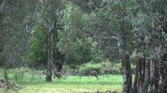 Australia kangaroos hop beyond trees Stock Footage