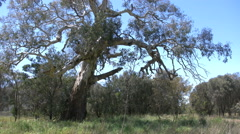 Australia road with old gum tree - stock footage