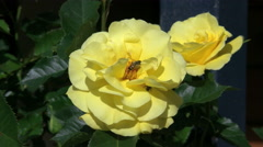 Yellow rose with bee and fly Stock Footage