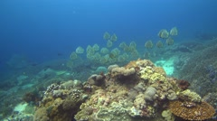 Hard and soft coral reef with group of tall-fin batfish (Platax teira) Stock Footage