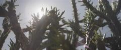 Sun shining through cactus Stock Footage