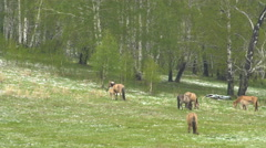 Foal Drinking Milk From the Mare. Horses Grazing in a Meadow With Young Colts. Stock Footage