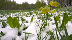 Snowy Spring Meadow With Yellow Flowers Stock Footage