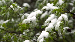 Snowy Spring Forest in the Mountains. May. Snowfall. Stock Footage