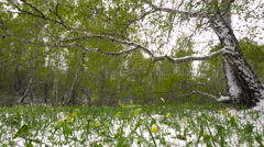 Snowy Spring Meadow With Yellow Flowers on the Background of Birch Forests Stock Footage